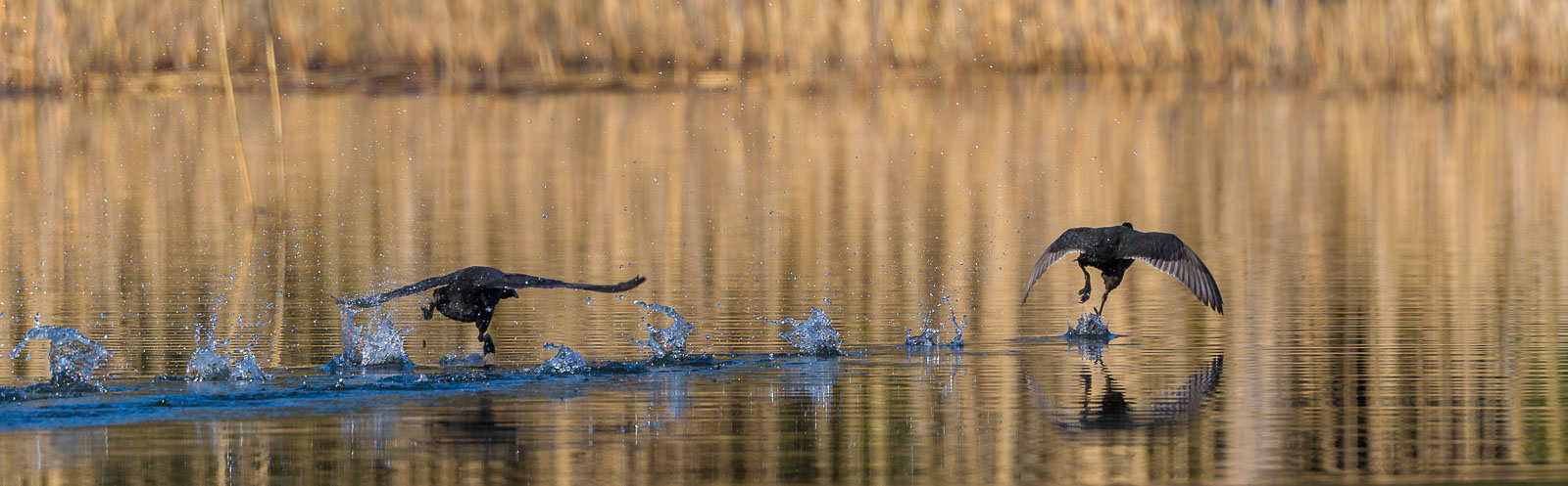 Sothönejakt över spegelblank sjö