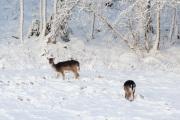 Dovhjortar letar mat i snön