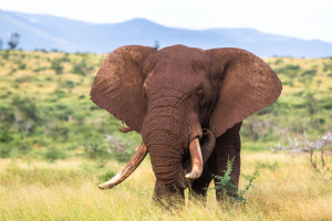 The Tusker