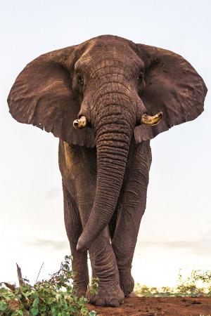 Elephant head on