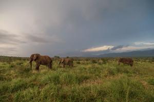 Elepants on the savannah