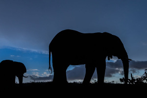 Elephants against blue sky