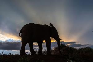 Siluett av elefant