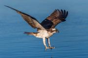 Flygande Fiskgjuse