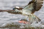 Fiskgjuse fångar fisk
