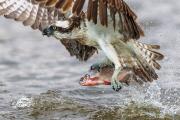 Fiskgjuse fångar fisk 3