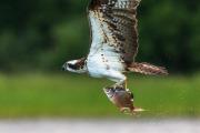 Fiskgjuse flyger hem med fisk