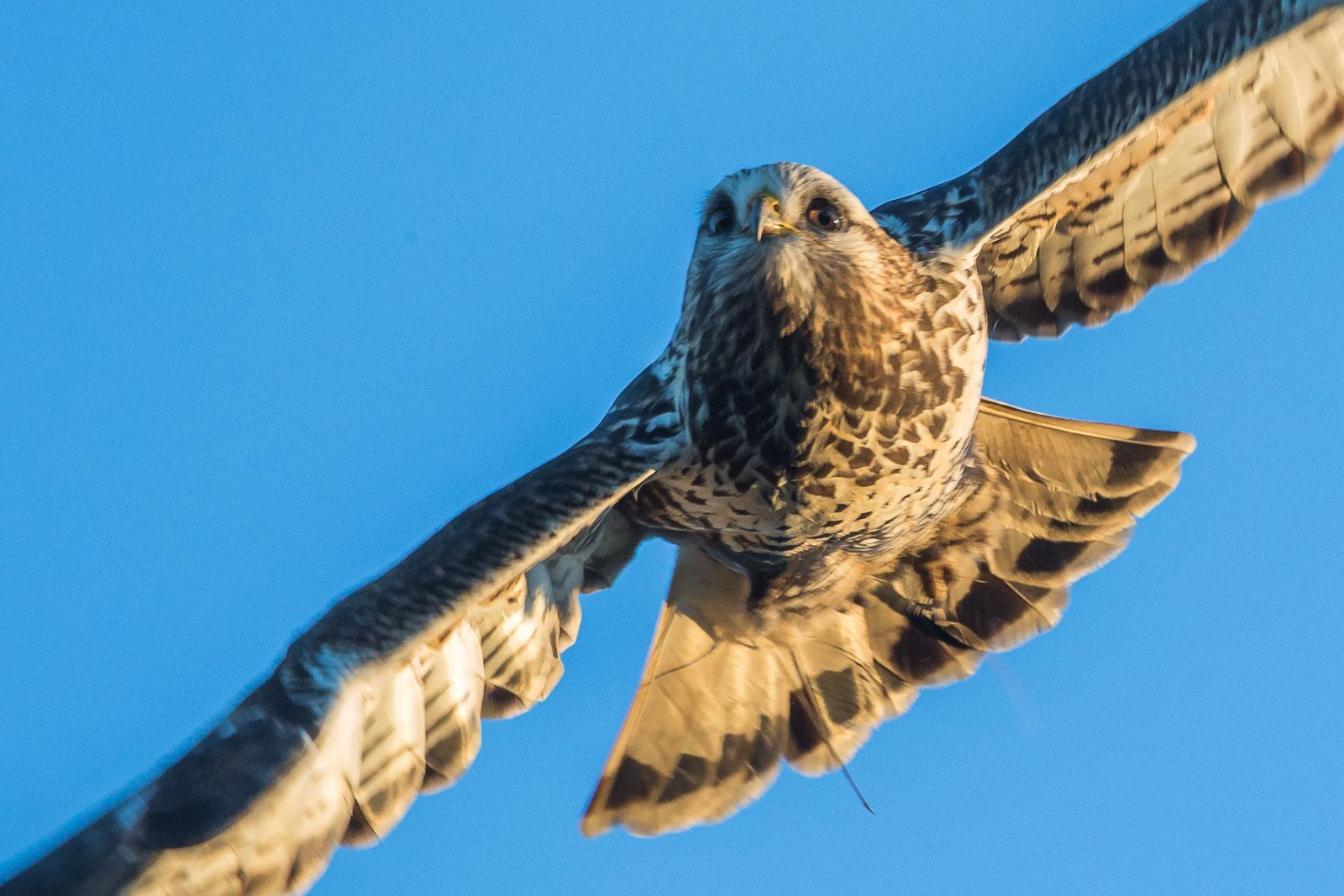 Flygande Fjällvråk