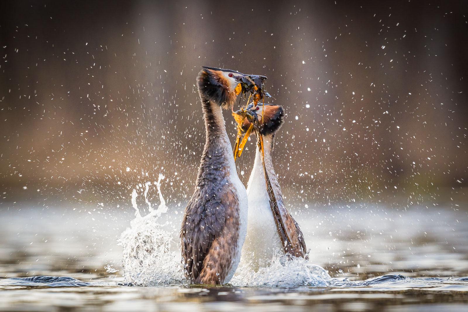 Skäggdoppingar gör Pingvindansen