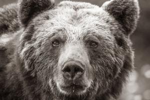Björnporträtt