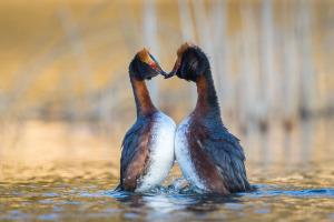 Svarthakedoppingar gör Pingvindansen