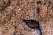 Gepardöga