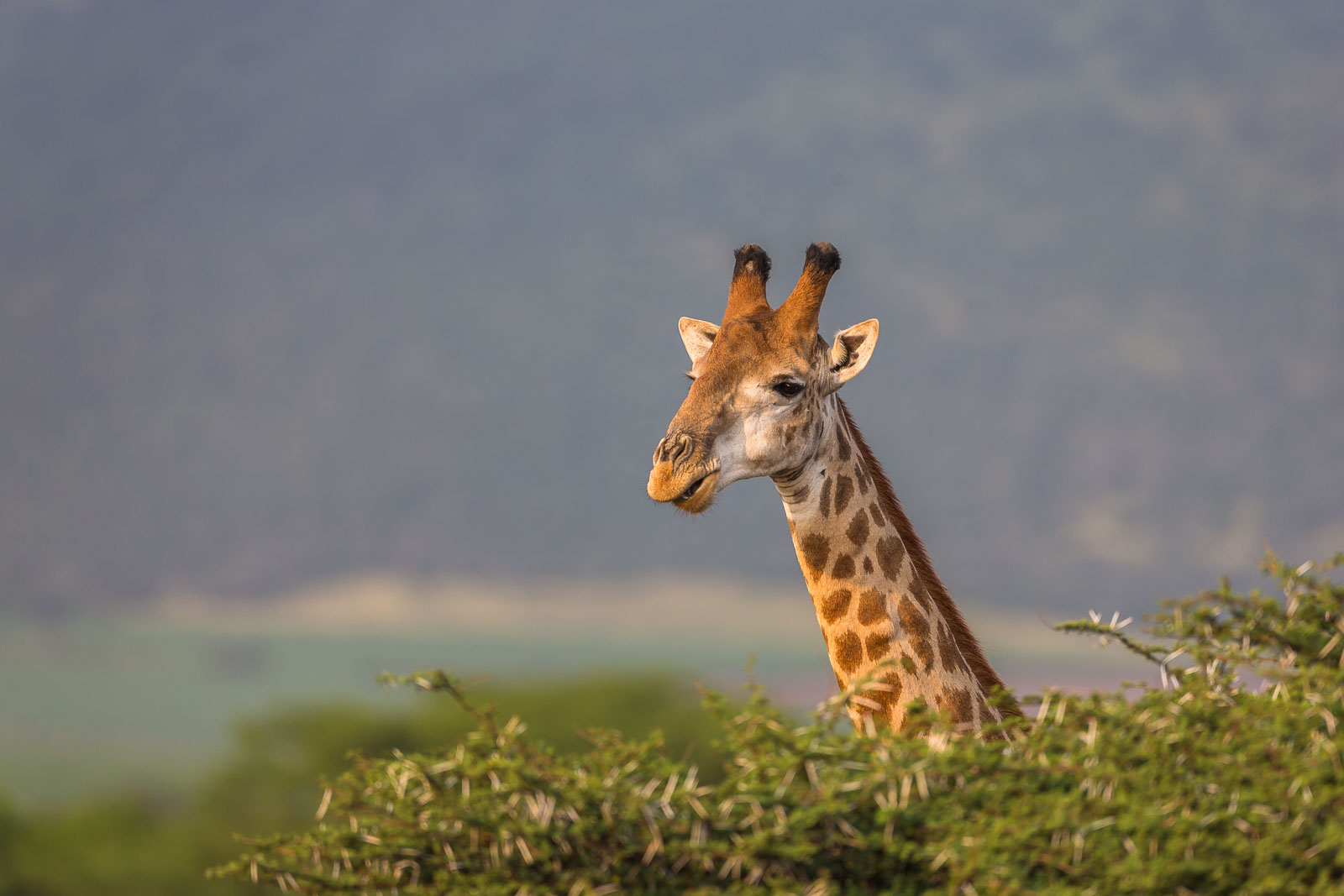 Giraff över trädtopparna