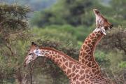 Fighting Giraffes
