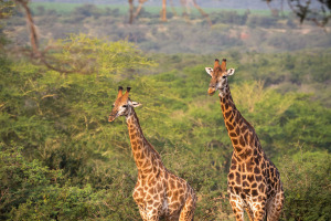 Giraffes in arch
