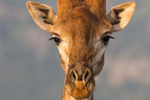 Giraffporträtt