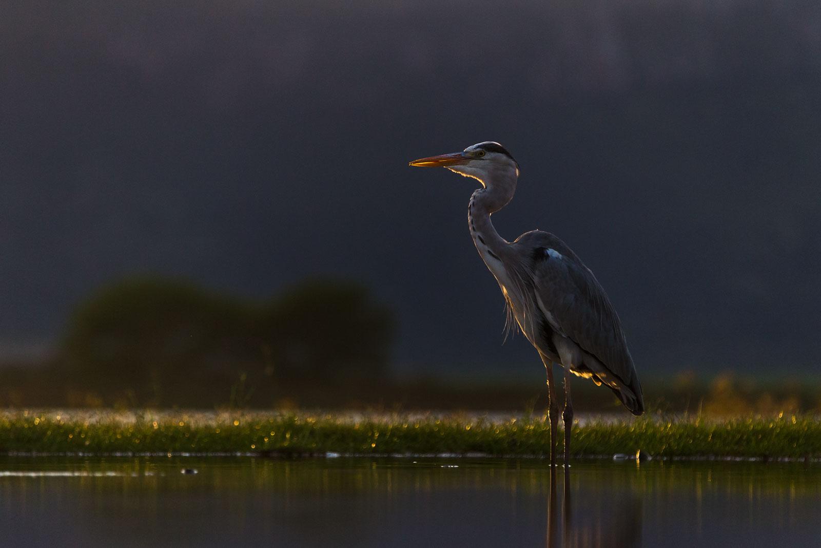 Backlit Heron