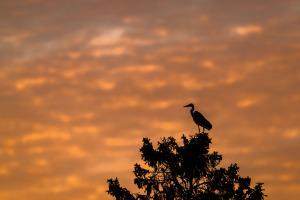 Gråhäger i solnedgång