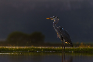 Backlit Heron
