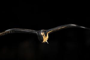 Grtey Heron