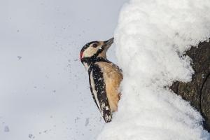 Större hackspett hackar i snö