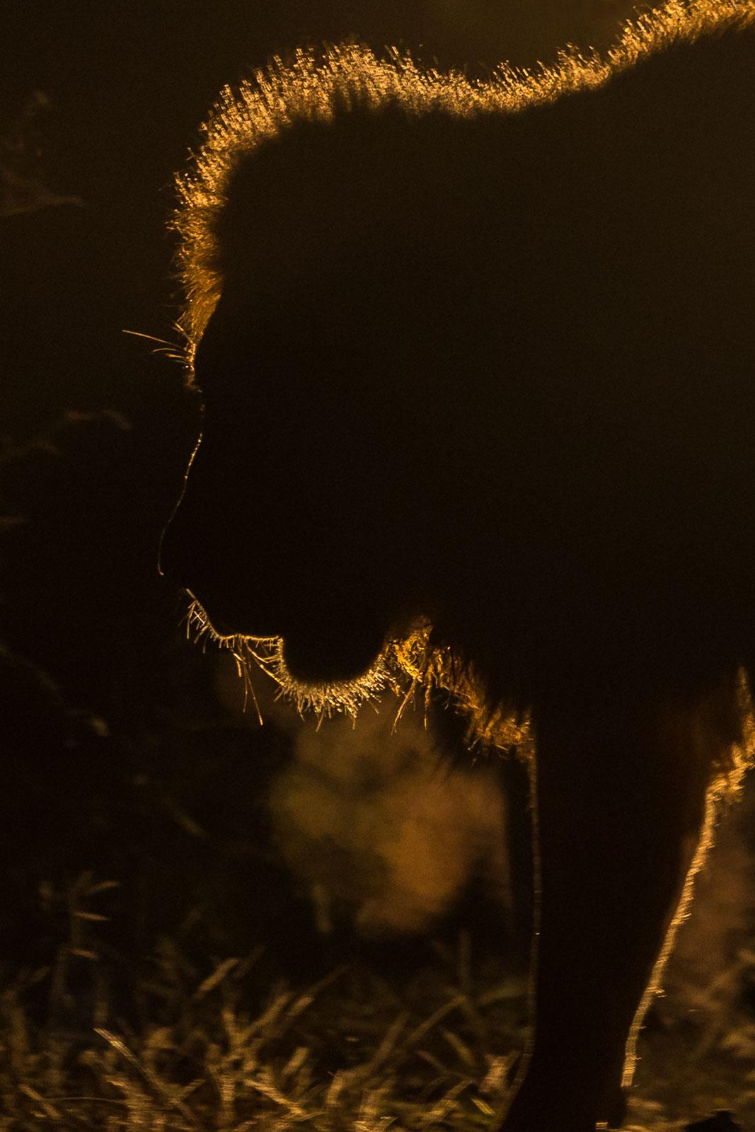 Backlit Lion breath