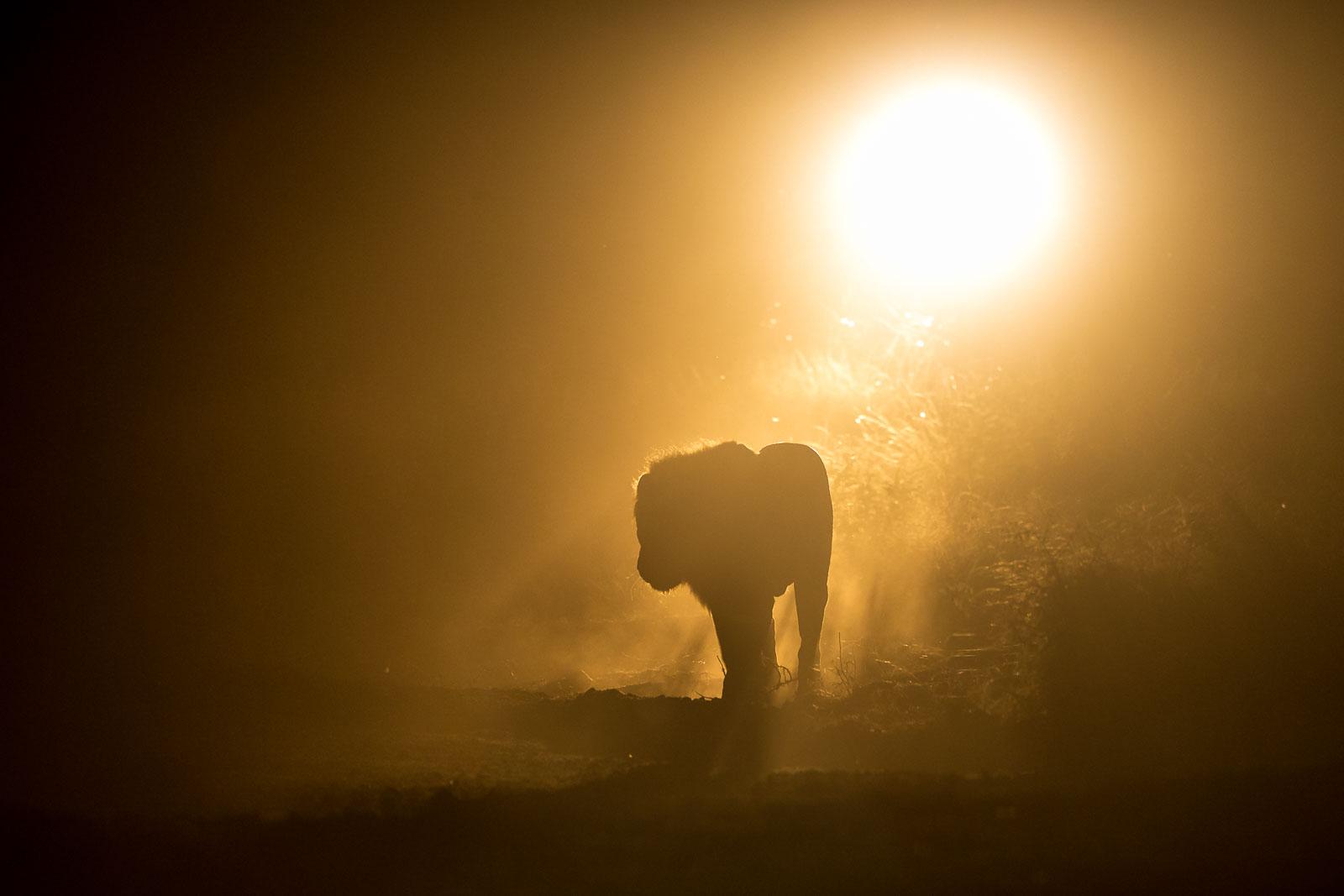 Lejonhanne i natten