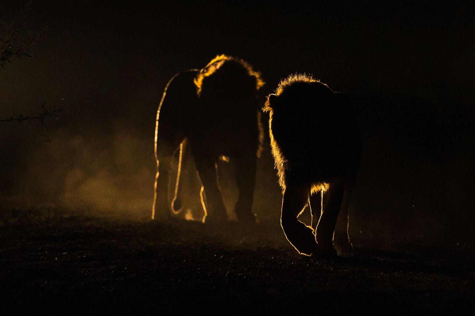 Lion follower