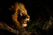 Male lion in the night