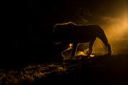 Lejonhane i natten