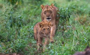 Lion family walk