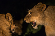 Lions in the night