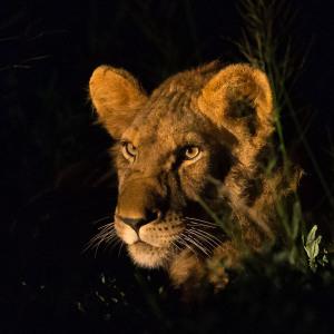 Lion night portrait