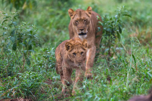 Lion family walk