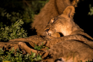 Lion cubs in the night