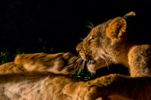 Lion cub kicking