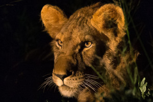 Lion night portrait