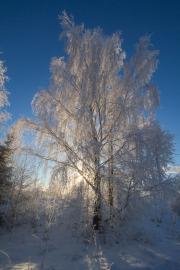 Björk i morgonfrost
