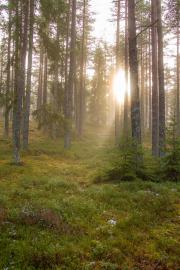 Skog i motljusdis