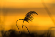 Vass i gul solnedgång