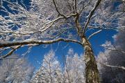 Björk i krispig vinterdag