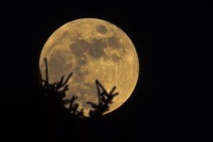 Träd i månsiluett