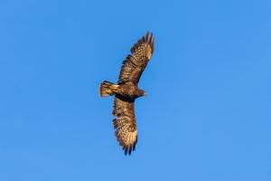 Flygande Ormvråk
