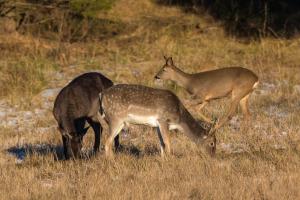 Blandade hjortar