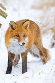 Glad räv