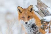 Poserande räv