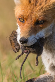 Närbild på räv med sork