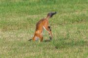 Räven hoppar 7