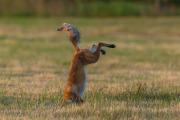 Rävhona hoppar 6