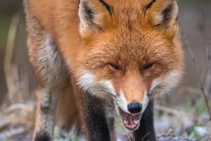 Skrattande räv